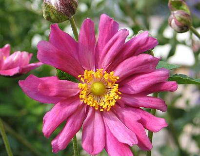 Anemone hybrida 'Rötkappchen' pot 2 liter - herfstanemoon