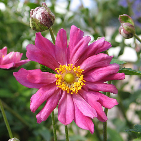 Anemone hybrida 'Rotkäppchen' (grote pot) - herfstanemoon