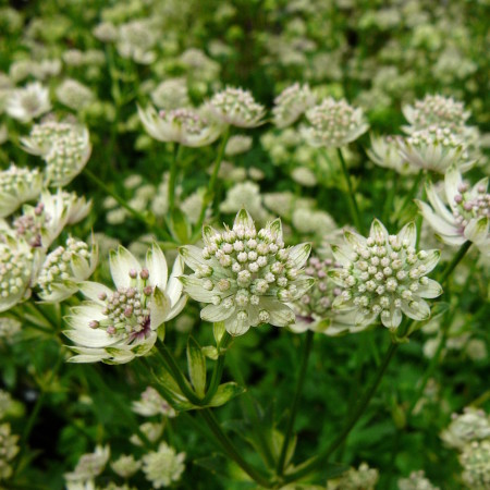 Astrantia major 'Star of  Billion' (grote pot) - zeeuws knoopje