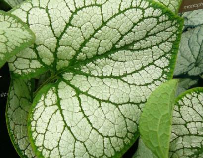 Brunnera macrophylla 'Silver Heart' pot 3 liter - kaukasische vergeet-mij-nietje