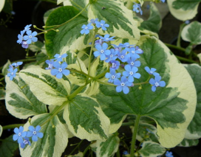 Brunnera macrophylla 'Variegata' pot 2 liter - kaukasische vergeet-mij-nietje