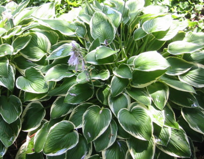 Hosta fortunei 'Francee' (grote pot) - hartlelie