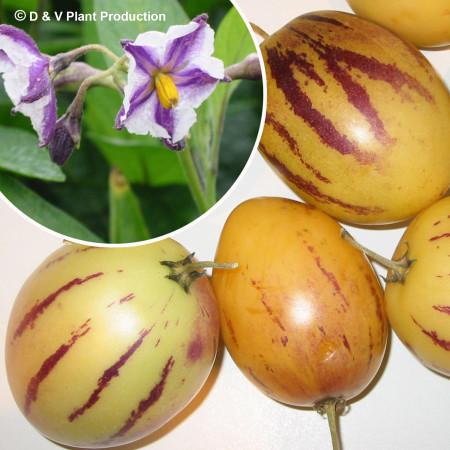 Solanum muricatum - meloenpeer