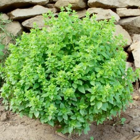 Struik basilicum of Griekse basilicum -