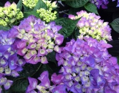 Hydrangea macrophylla 'Amor Blue'