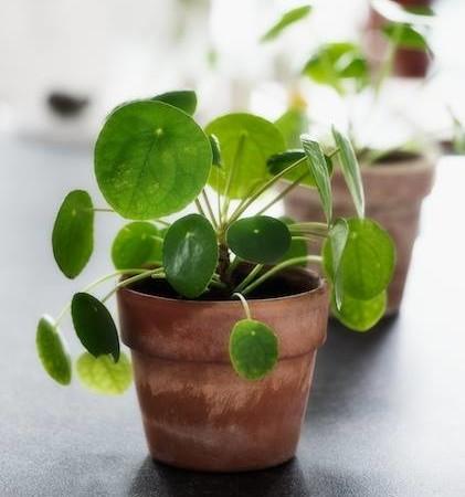 Pilea peperomioides - pannenkoekplant