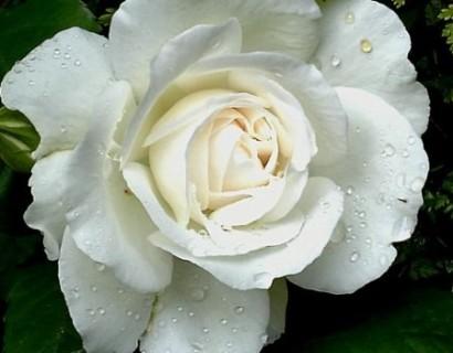 Rosa 'Annapurna' - grootbloemige roos