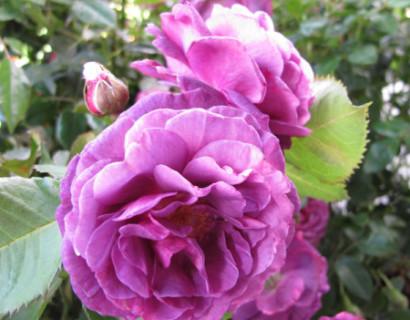 Rosa 'Minerva' - Grootbloemige roos
