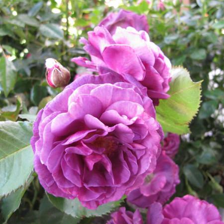 Rosa 'Minerva' stam - stamroos