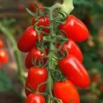 Hoeveel soorten tomatenplanten? Jawel, 16 soorten!