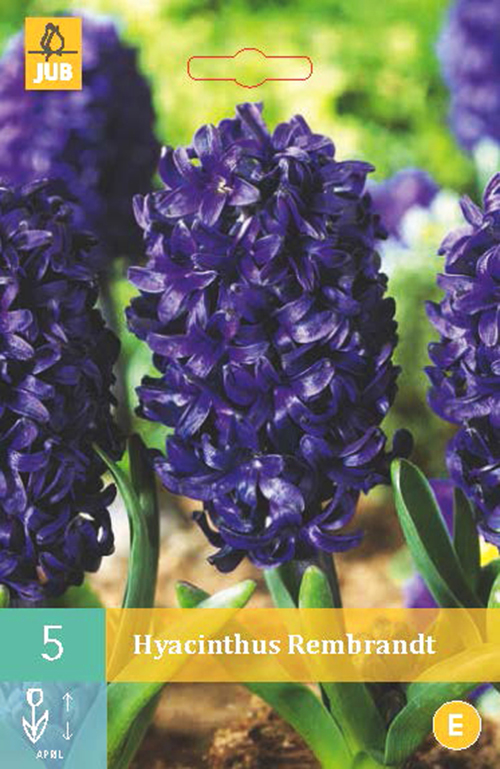 Hyacinthus 'Rembrandt' - hyacint