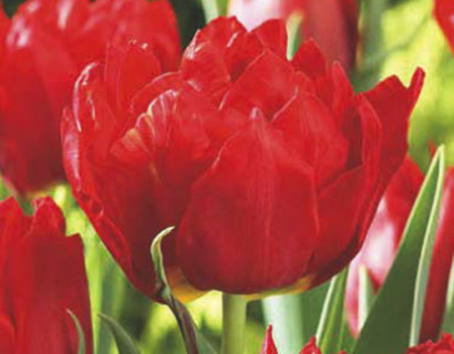Tulipa 'Abba' - tulp