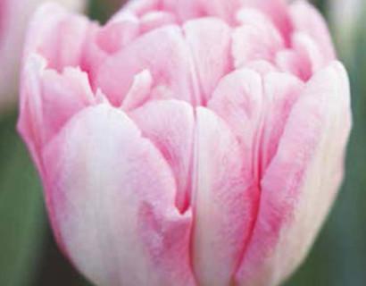 Tulipa 'Foxtrot' - tulp
