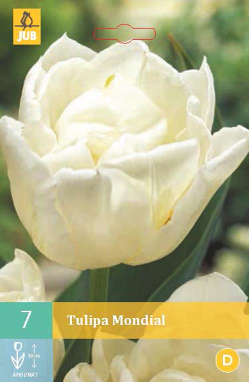 Tulipa 'Mondial' - tulp