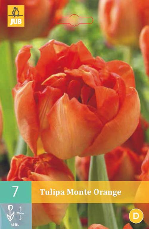 Tulipa 'Monte Orange' - tulp