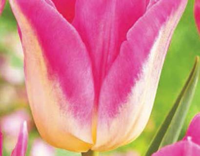 Tulipa 'Dynasty' - tulp