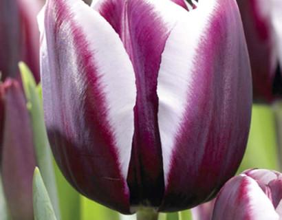 Tulipa 'Fontainebleau' - tulp