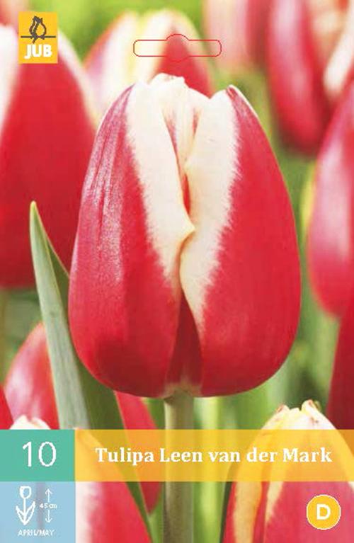 Tulipa 'Leen van der Mark' - tulp