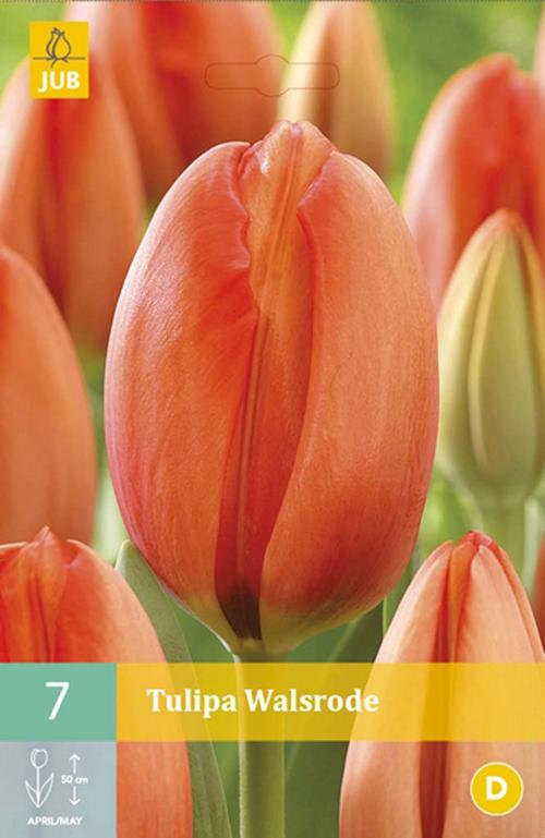 Tulipa 'Walsrode' - tulp
