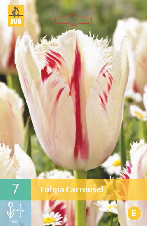Tulipa 'Carrousel' - tulp