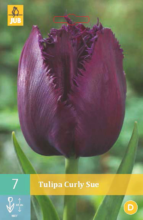 Tulipa 'Curly Sue' - tulp