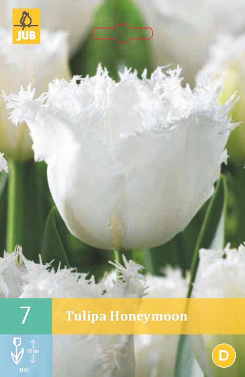 Tulipa 'Honeymoon' - tulp