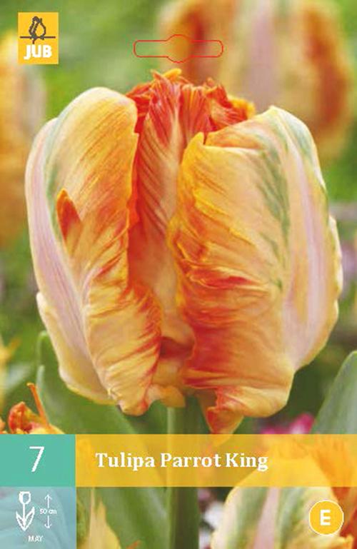 Tulipa 'Parrot King' - tulp