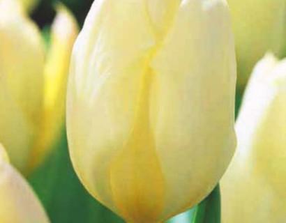 Tulipa 'Purissama' - tulp