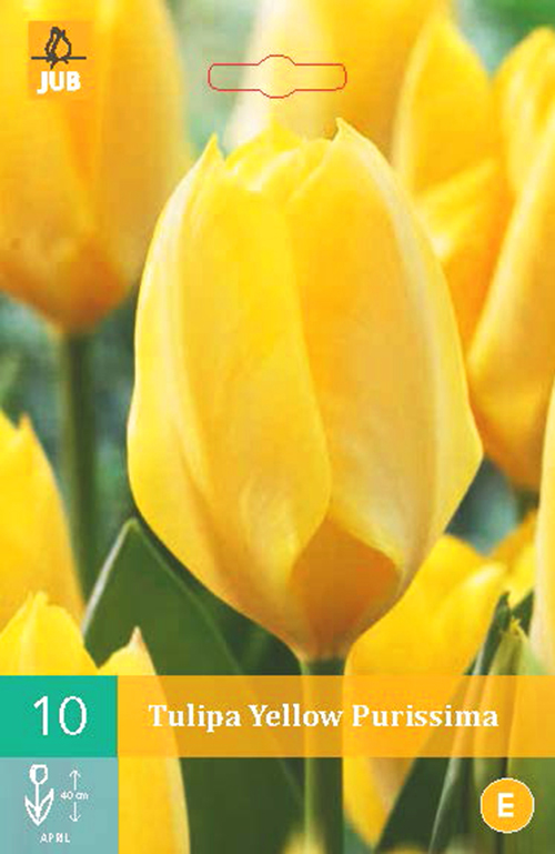 Tulipa 'Yellow Purissama' - tulp