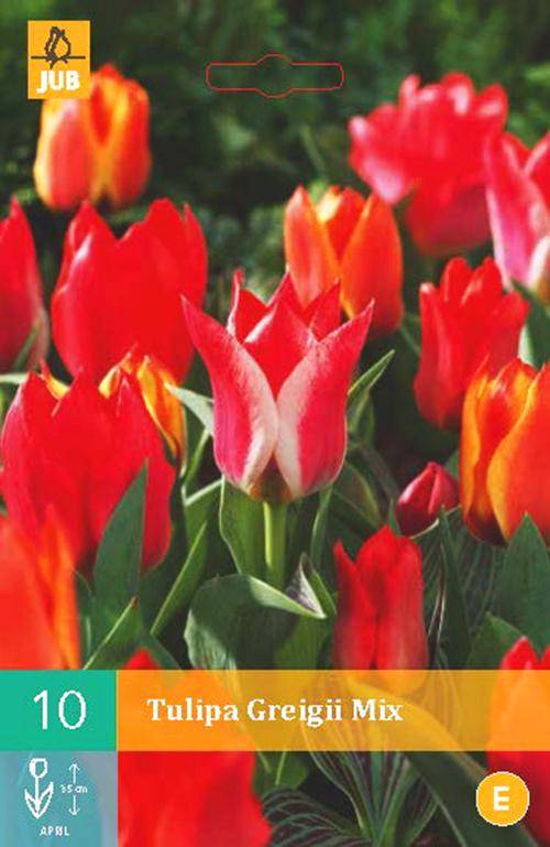 Tulipa 'Greigii Mix' - tulp