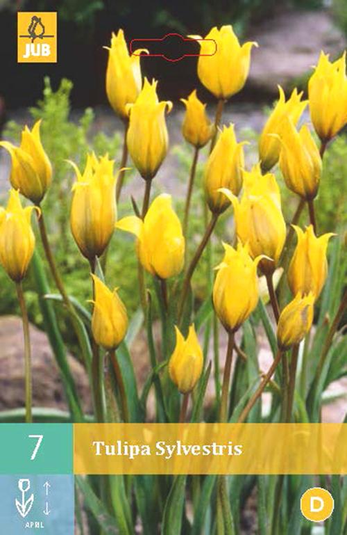 Tulipa sylvestris - tulp