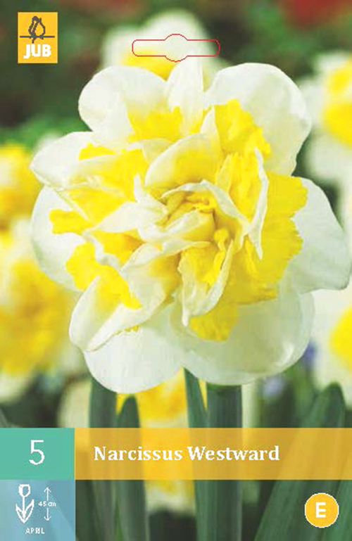 Narcissus 'Westward' - paasbloem