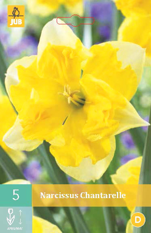 Narcissus 'Chanterelle' - paasbloem