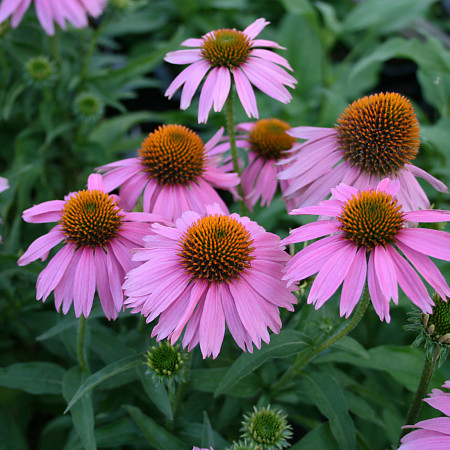 Echinacea 'Mistral' (grote pot) - zonnehoed