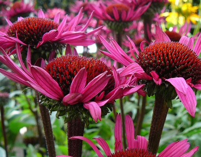 Echinacea 'Fatal Attraction' pot 3 liter - zonnehoed