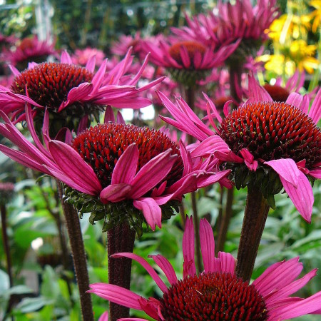 Echinacea 'Fatal Attraction' (grote pot) - zonnehoed