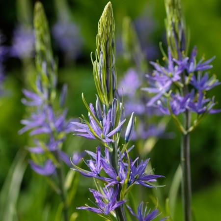Camassia leuchtlinii 'Blaue Donau'  (grote pot) - prairielelie, prairiekaars