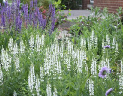 Salvia nemorosa 'White'  (grote pot) - salie