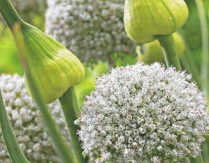 Allium 'White Cloud' - sierui