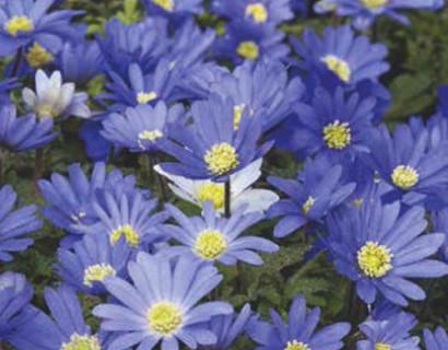 Anemone blanda 'Blue Shades' - anemoon