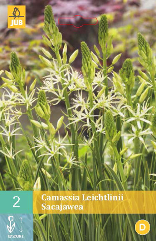 Camassia leichtlinii Sacajawea - prairielelie