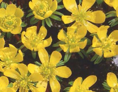 Eranthis cilicica - winterakoniet
