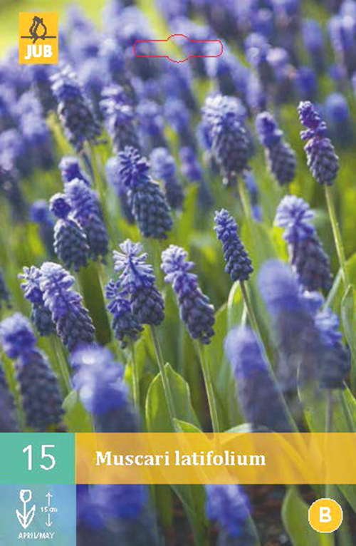 Muscari latifolium - blauw druifje
