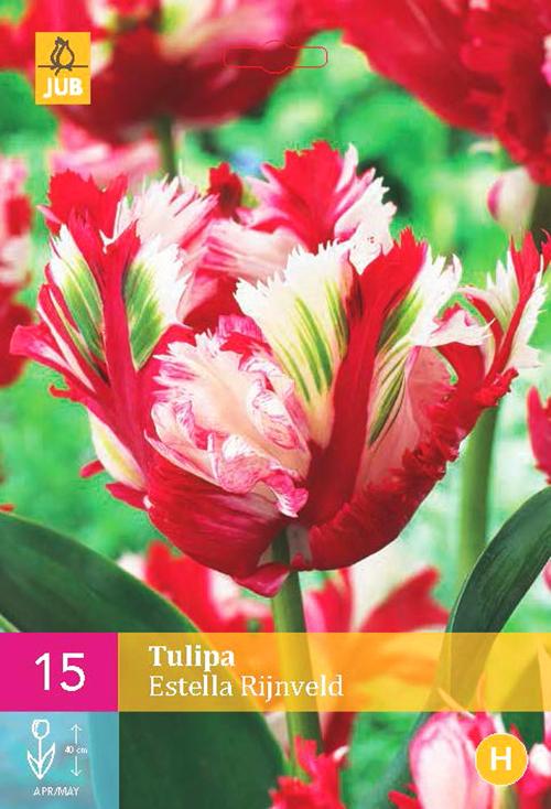 Tulipa 'Estella Rijnveld'  XXL - tulp