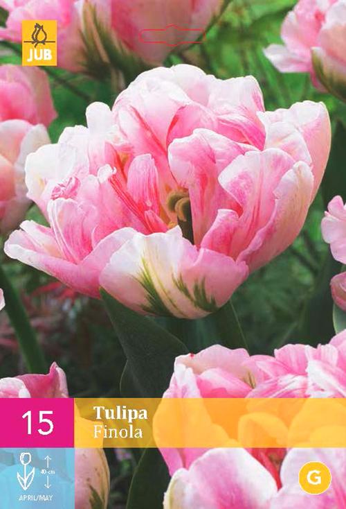 Tulipa 'Finola' XXL - tulp