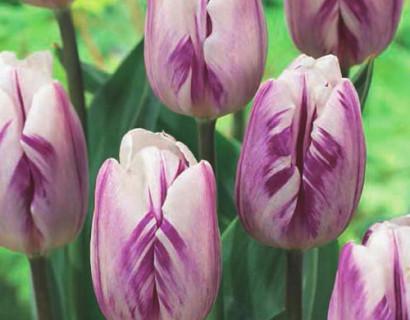 Tulipa 'Flaming Flag'  XXL - tulp