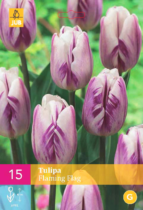 Tulipa 'Flaming Flag'  XXL - tulp