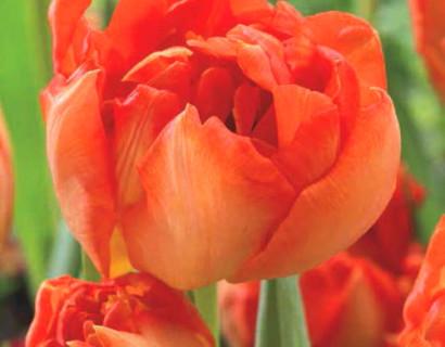 Tulipa 'Monte Orange'  XXL - tulp