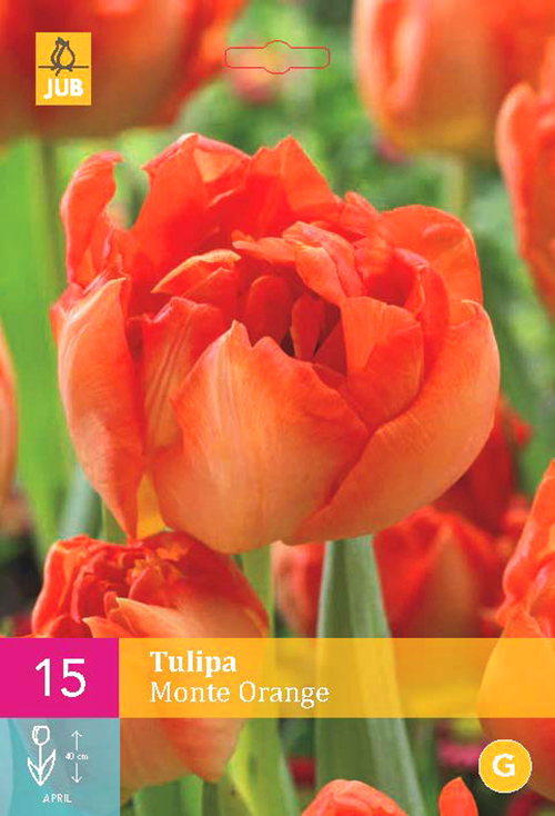 Tulipa 'Monte Orange'  XXL - tulp