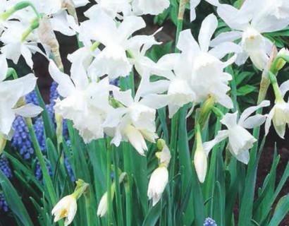 Narcissus 'Triandrus Thalia'  XXL - paasbloem